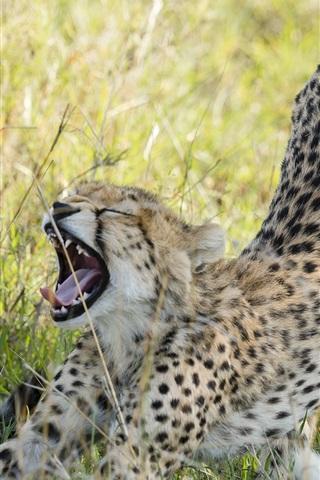 iPhone Wallpaper Cheetah in the savanna