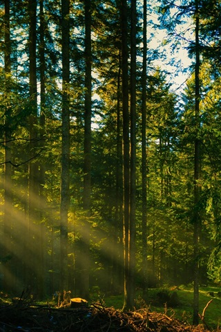 iPhone Wallpaper Forest trees, sun rays