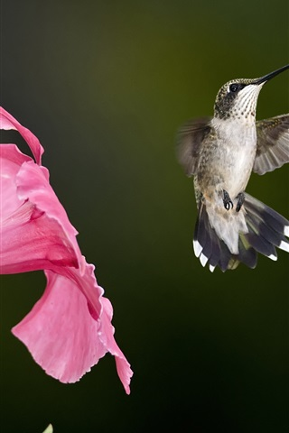 iPhone Wallpaper Hummingbird flying, pink flowers