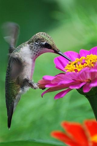 iPhone Wallpaper Hummingbird, pink flower, nectar