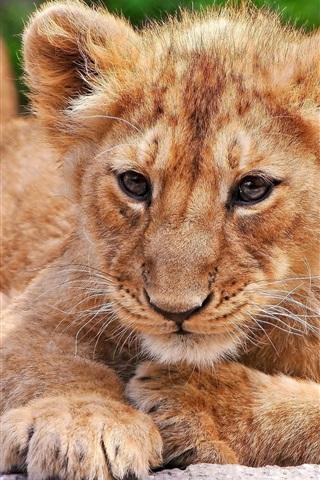 iPhone Wallpaper Lion cub close-up