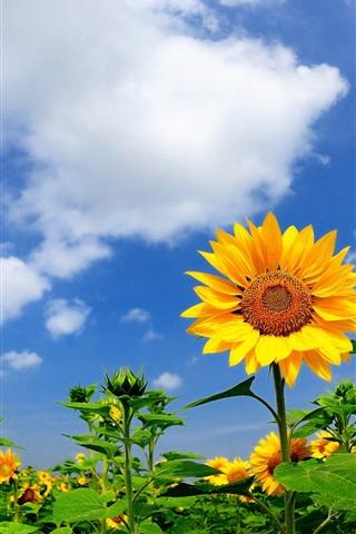 夏のヒマワリ 雲 青空 640x1136 Iphone 5 5s 5c Se 壁紙 背景 画像