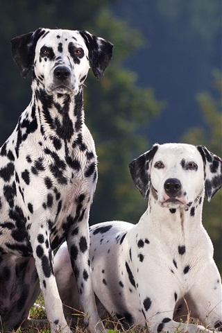 iPhone Wallpaper Two dalmatian dog