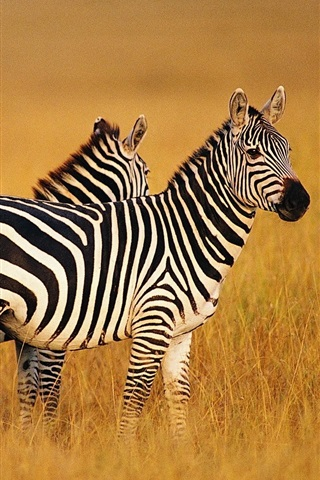 iPhone Wallpaper Two zebras in summer grasslands