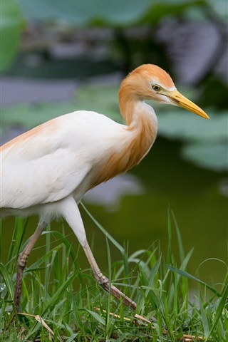 iPhone Wallpaper Lake, grass, bird, heron, Egyptian