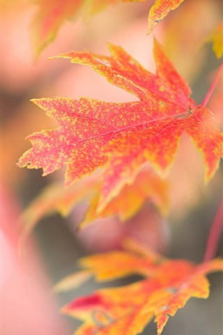 iPhone Wallpaper Red maple leaves, autumn, glare background