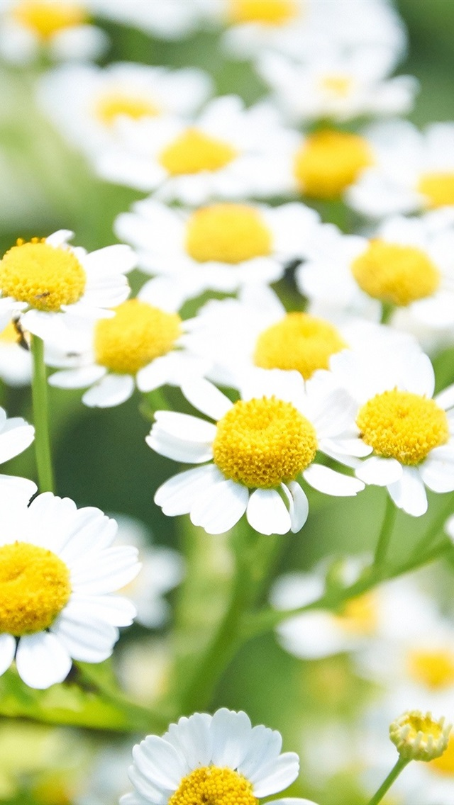 White Daisies Flowers Yellow 640x1136 Iphone 55s5cse