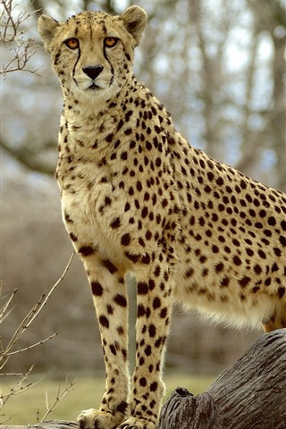 iPhone Wallpaper Animal photography, cheetah, predator