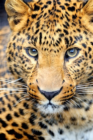 iPhone Wallpaper Animal predator, leopard, eyes, face