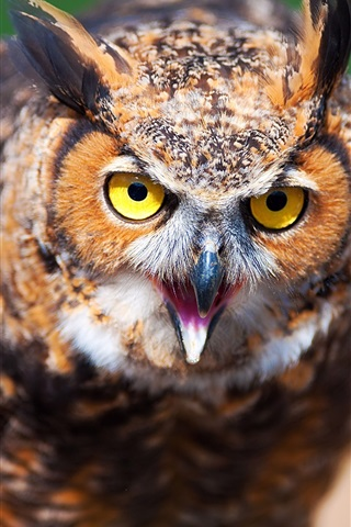 iPhone Wallpaper Owl face close-up, blur background