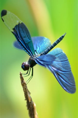 iPhone Wallpaper Twig, blue dragonfly