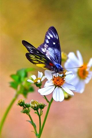 iPhone Wallpaper White kosmeya flowers, butterfly