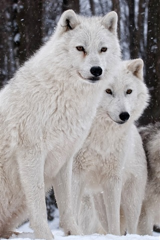 iPhone Wallpaper Wolves family, nature, winter