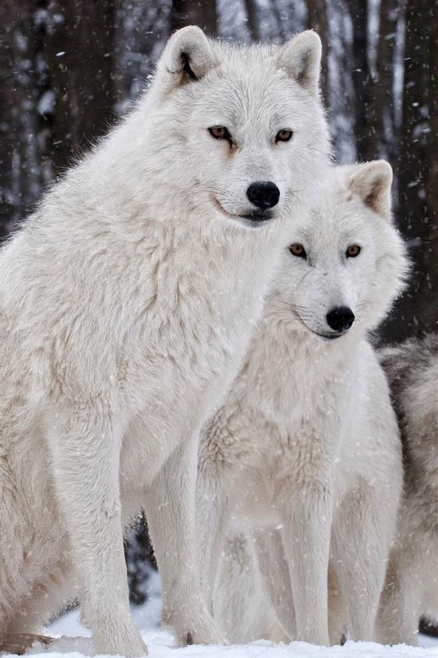 белые волки пара картинки грозил приличный тюремный