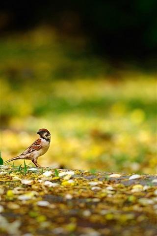 iPhone Wallpaper Bird, sparrow, ground, yellow