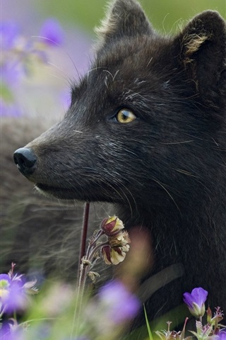 Black Arctic Fox Plants Flowers Grass 640x960 Iphone 4 4s Wallpaper Background Picture Image