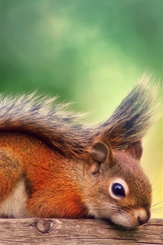 iPhone Wallpaper Canada, autumn, red squirrel rest