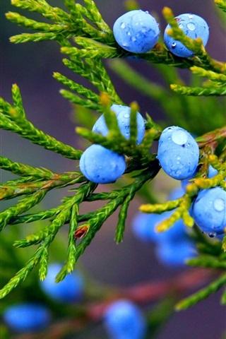 iPhone Wallpaper Autumn, nature, juniper, blue berries, water drops
