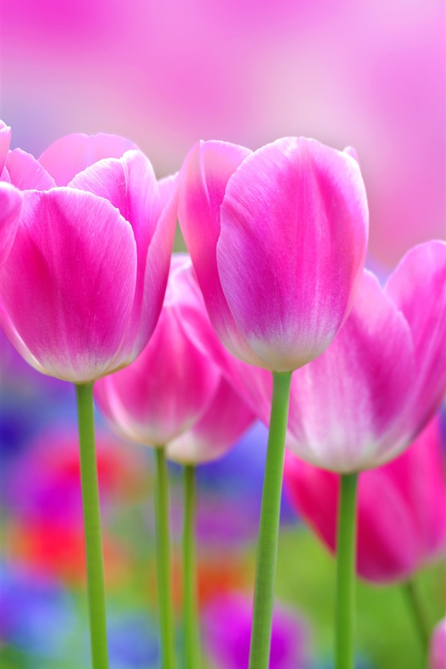 Wallpaper Beautiful Pink Tulips Flowers Blur Background