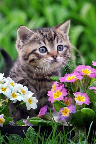 iPhone Wallpaper Cute kitten, white and purple flowers