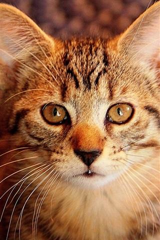 iPhone Wallpaper Kitten, gray tabby, eyes, portrait