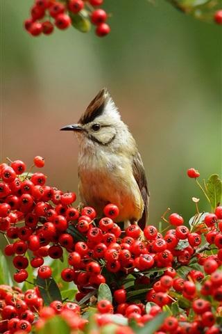 iPhone Wallpaper Twigs, red berries, bird