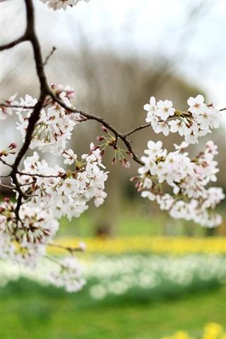 iPhone Wallpaper Cherry flowers, white petals, blur, spring nature