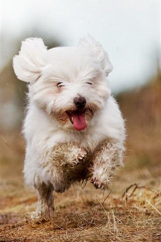 iPhone Wallpaper Cute white dog running
