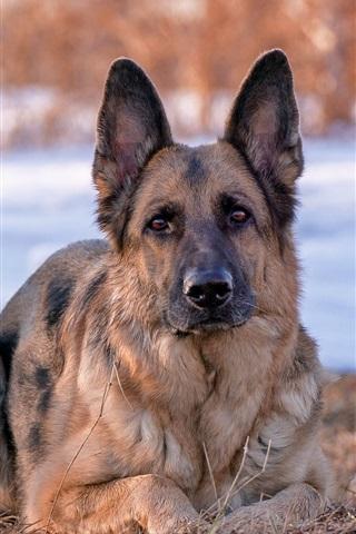 iPhone Wallpaper German Shepherd dog, front view