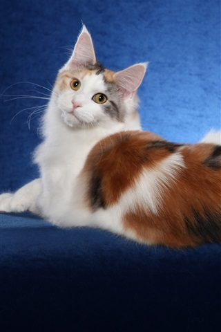 iPhone Wallpaper Maine Coon cat, white brown, blue background