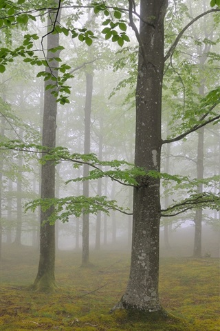 iPhone Wallpaper Nature forest trees, fog, foliage