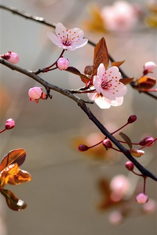 iPhone Wallpaper Pink cherry flowers bloom, leaves, nature, blur background