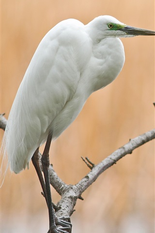 iPhone Wallpaper Tree, branch, bird, egret