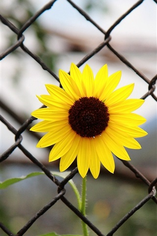 iPhone Wallpaper Yellow flower, iron fence
