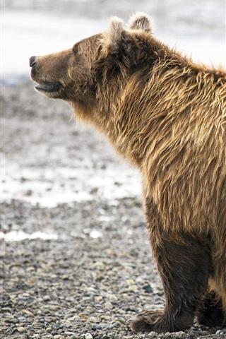 iPhone Hintergrundbilder Familie Tiere, Braunbären