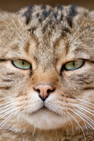 iPhone Wallpaper European cat, wild cat, eyes, face