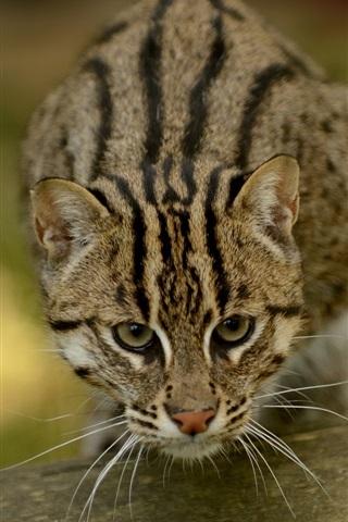 iPhone Wallpaper Fishing cat