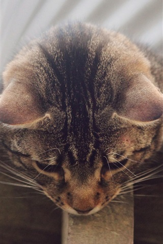iPhone Wallpaper Gray striped cat, curiosity