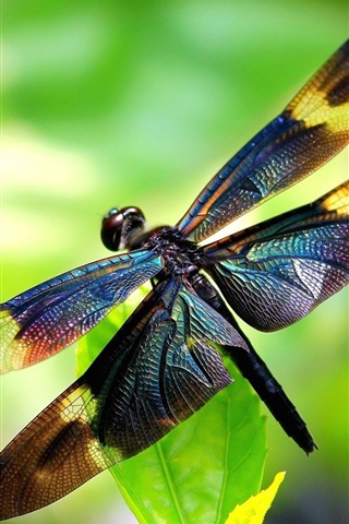 iPhone Wallpaper Insect, dragonfly, wings