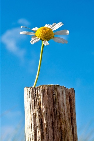 iPhone Wallpaper Lonely flower, chamomile, sky, blue, tree stump