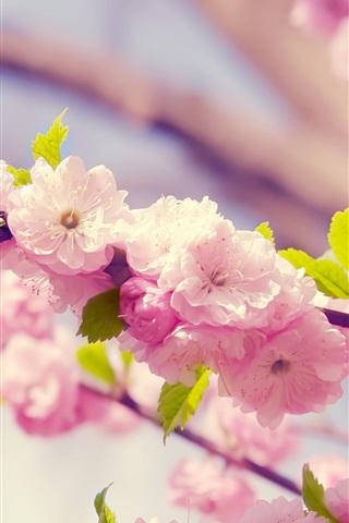iPhone Wallpaper Sakura, pink flowers, petals, bloom, spring