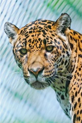 iPhone Wallpaper Animals close-up, jaguar, predators, look
