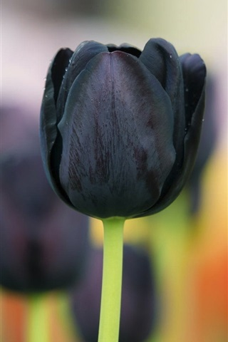 iPhone Wallpaper Black tulip flowers