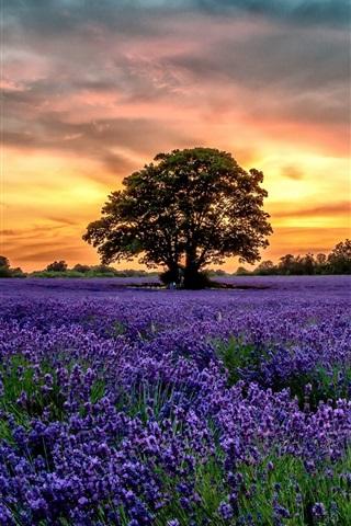 iPhone Wallpaper Purple lavender fields, scenery, sunset, flowers