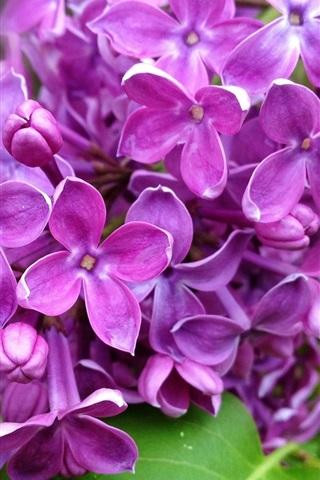 iPhone Обои Фиолетовый цветы сирени ветка, природа, весна