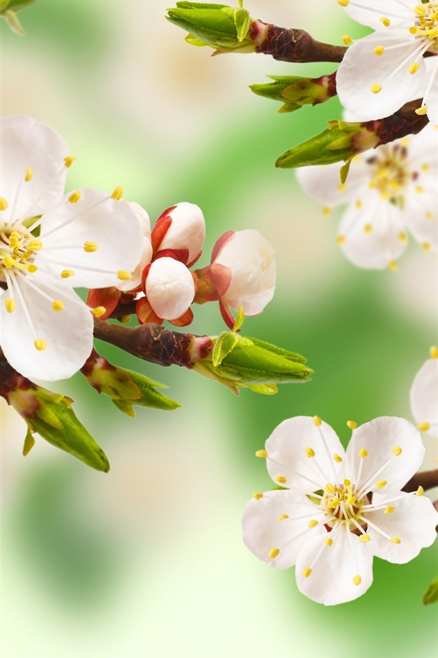 wallpaper spring apple tree branch white flowers leaves