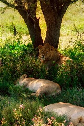 iPhone Papéis de Parede Verão, leões, árvore, grama