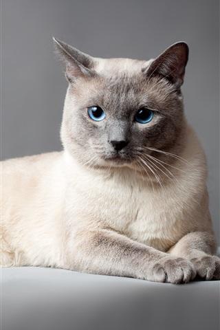 Wallpaper Thai Cat Blue Eyes Gray Background 2560x1600 Hd