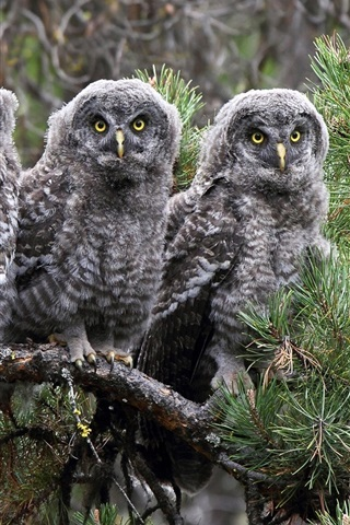 iPhone Wallpaper The great gray owl, three owls
