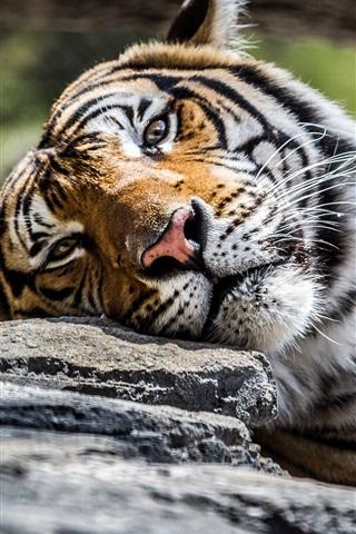 iPhone Papéis de Parede Tiger, rosto, olhos, pedra